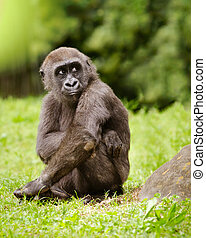 gorille, adolescent, jeune, plaine