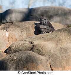 gorille, jeune, séance, solitaire