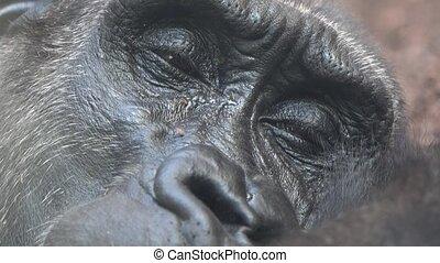 gorille, yeux, somnolent