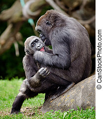 gorilles, jeune, jouer