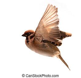 gorrión, vuelo, aislado, plano de fondo, pájaro blanco