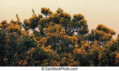 Gorse Bushes In The Wind At Sunset
