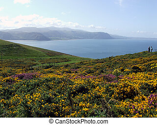 Gorse on the Great orm - Gorse and Heather on the Great Orm...