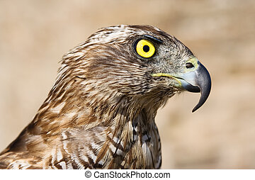 Goshawk close-up