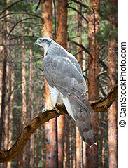 Goshawk in pine forest