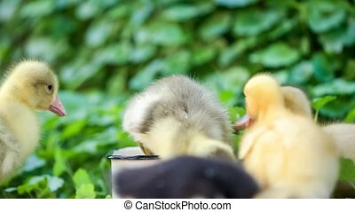 Cute domestic gosling and duckling eating grain, drinking water and walking in green grass, outdoor.
