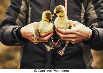 Gosling in the woman's hands. Life in the countryside.