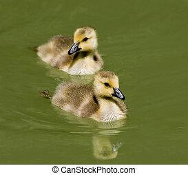Goslings Swimming