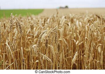 gospodarcze pole, pszenica, do góry szczelnie