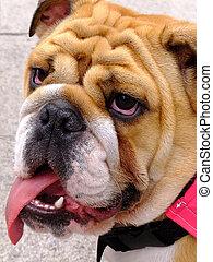 Bulldog on a hot day needing a drink