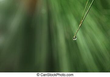 gota de agua, aguja, hoja, pino