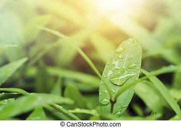 gotas de la lluvia, en, hojas verdes, con, luz del sol, naturaleza, plano de fondo