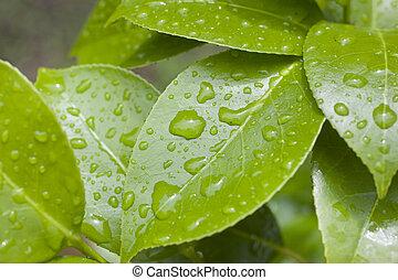 gotas de lluvia, hojas, camelia