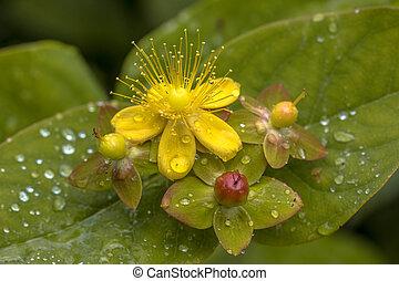 gotas, flor, amarillo, hypericum