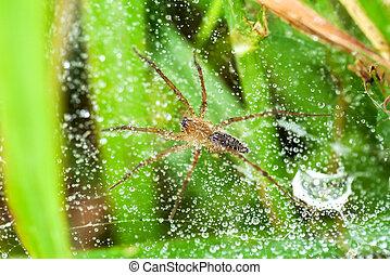 gotas,  spider-web, rocío