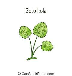 Gotu kola - medicinal plant. Hand drawn botanical vector...