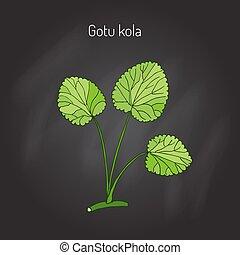Gotu kola - medicinal plant