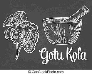 Gotu kola - medicinal plant.  Vector vintage engraved illustration