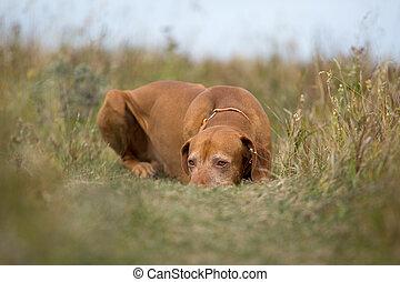 gouden, jacht, kleur, het leggen, dog, kalm, gras