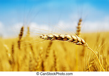 gouden, oogsten, op einde
