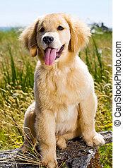 gouden, puppy, retriever