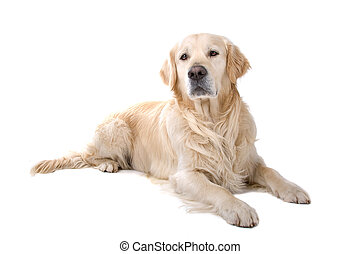 gouden retriever, dog