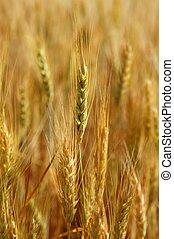 gouden, tarwe, graan, geel veld