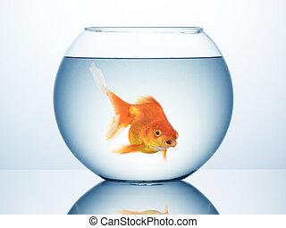 gouden vis, in, kom
