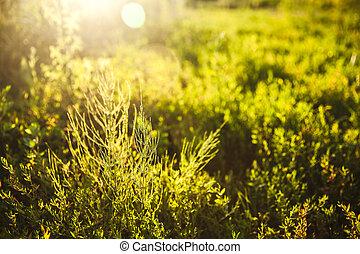 gouden, weide, avond, zomer, achtergronden, landelijk