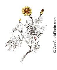 goudsbloemen, hand, watercolor, achtergrond., sinaasappel, getrokken, witte , schilderij