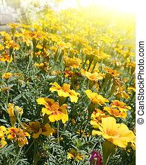 goudsbloemen, in de tuin
