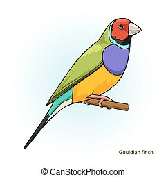 Gouldian finch bird educational game vector - Gouldian finch...