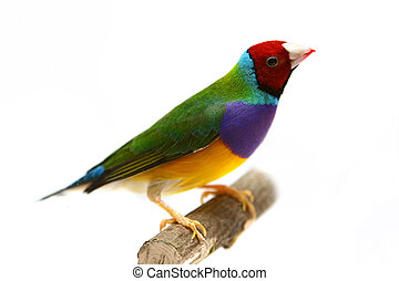 Gouldian Finch on white background - Gouldian Finch - ...