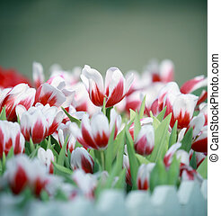 goup of white and red tulip flowers