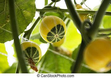 gourd crop