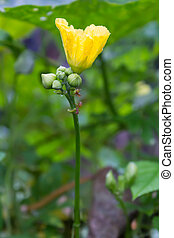 Gourd flower - Beautiful gourd flower and orange ant