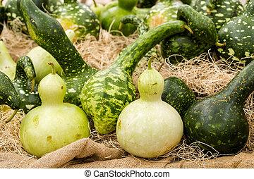 Gourds - Green gourds at the pumpkin patch.