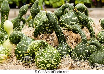 Green gourds at the pumpkin patch.