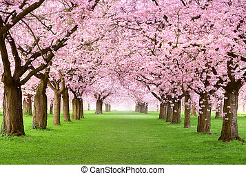 Ornamental garden with majestically blossoming large cherry trees on a fresh green lawn