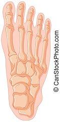 gout, hueso humano