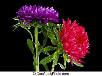 gouttes, aster, eau, arrière-plan noir, fleurs