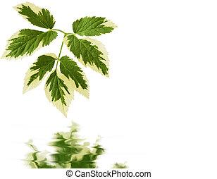 Goutweed Foliage