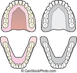 gráfico, diente