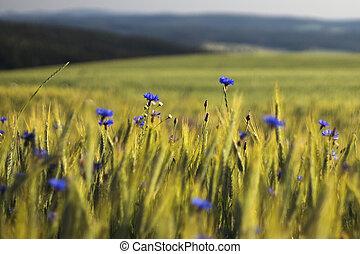 grán, chrpa, květiny, bojiště, konzervativní