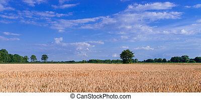 grão, campo