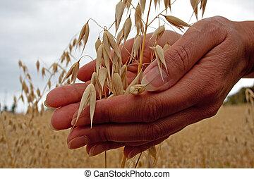 grão, segurando, agricultor