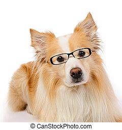gräns collie, med, glasögon