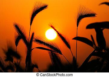 gräs, silhuett, mot, solnedgång, tillsluta, av, mognande,...