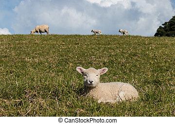 gräs, vila, lamm
