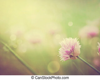 gräslökar, blomningen
